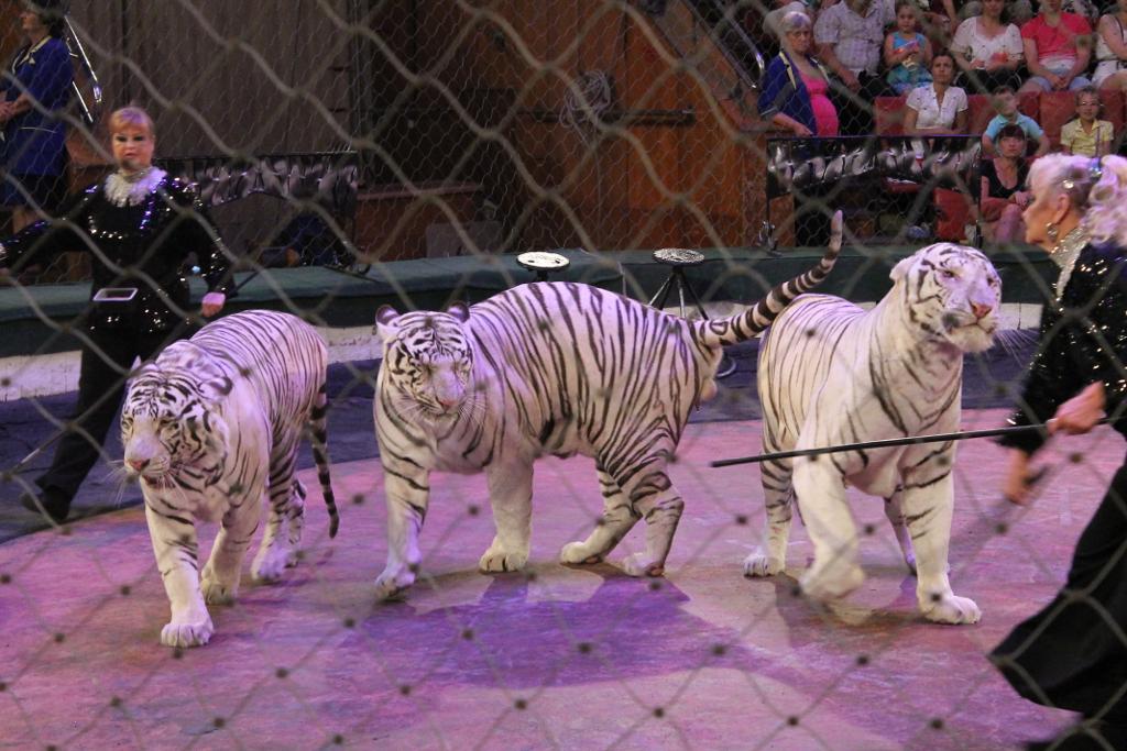 залтания мир белых тигров видео